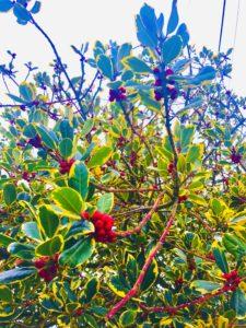 Holly bush Johnny Magory