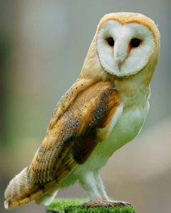 Barn Owl Johnny Magory
