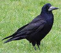 Johnny Magory Crow