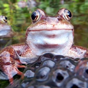 Frog-with-frogspawn