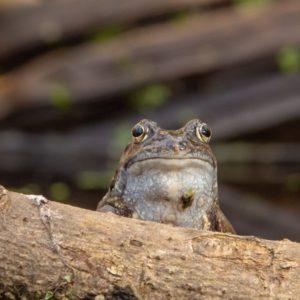 Johnny Magory Common Frog Hibernation Ireland