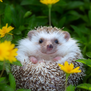 Johnny Magory Hedgehog Hibernation Ireland