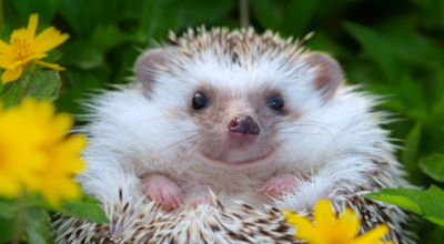 Johnny Magory Hedgehog Hibernation Ireland