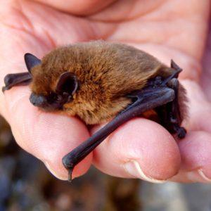 Johnny Magory Bat Hibernation Ireland
