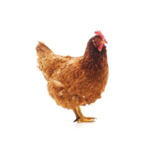 Chicken - Sicin