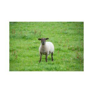 The galway Sheep - Caoirigh na Gaillimhe