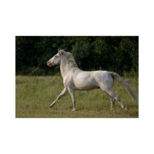 Connemara Pony - Capaillín Chonamara.