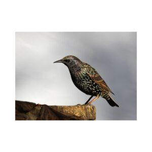 Starlings - Druid